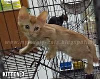 Anak Kucing Untuk Adopt Percuma