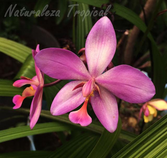 Flor morada con matices claros de un híbrido del género Spathoglottis
