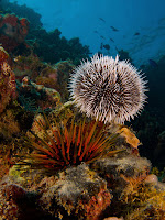 White Sea Urchin & Reef Urchin