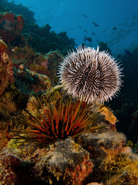 White Sea Urchin & Reef Urchin