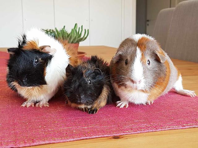 meerschweinchen-verstehen: Meerschweinchengruppe mit Meerschweinchen Muck, Hope und Holly
