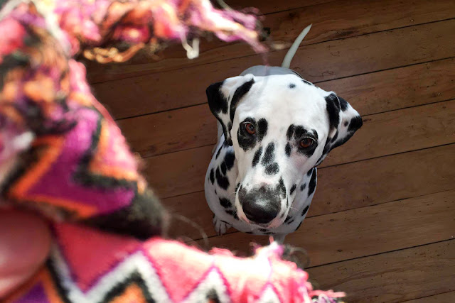 Dalmatian dog looking at ripped sock