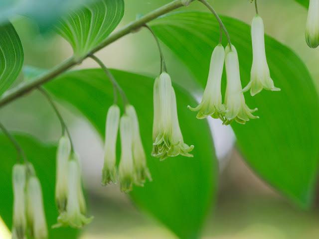 Vielblütige Weißwurz - Polygonatum multiflorum. Gehört zur selben Familie, wie die Maiglöckchen, nämlich zu den Spargelgewächsen (Asparagaceae)