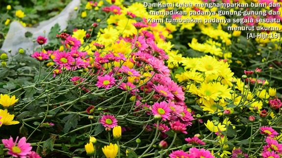 Indahnya Bunga Krisan Di Kebun Bunga Setiya Aji Flower Farm Bandungan