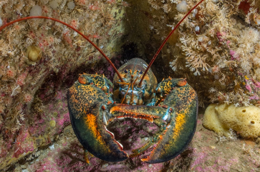 Unique Lobster Behavioral Adaptations Display | Supplier Fresh Water  Lobster, Wholesale Lobster Meat, Lobster Facts, Lobster Exporters