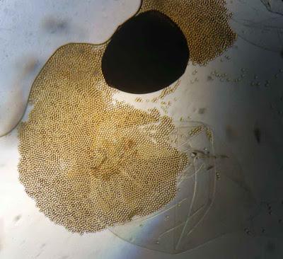Pilobolus lentiger spores