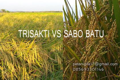 PADI GENJAH TRISAKTI VS PADI SABO BATU (LIPUTAN KHUSUS)