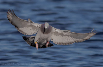 Image 4: Rock Pigeon in Flight over the Diep River, Woodbridge Island