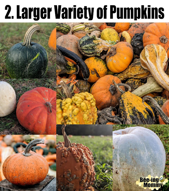 pumpkins, pumpkin patch, fall, fall bucket list, things to do in fall, pumpkin patch vs supermarket, pumpkin patch vs grocer store, family fun, family activity, fall family activity,  life experience, fall fun, fall decor, 5 reasons why, pumpkin pictures, different pumpkins, pumpkin hunting, gourds, white pumpkin, green pumpkin, ugly pumpkin, pumpkin photography