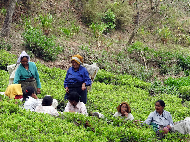 tea plantation, women, work, West Bengal, India