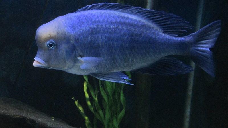 Gambar Jenis Jenis Ikan Cichlid ( Malawi Cichlids ) - Blue moorii ( Cyrtocara moorii )