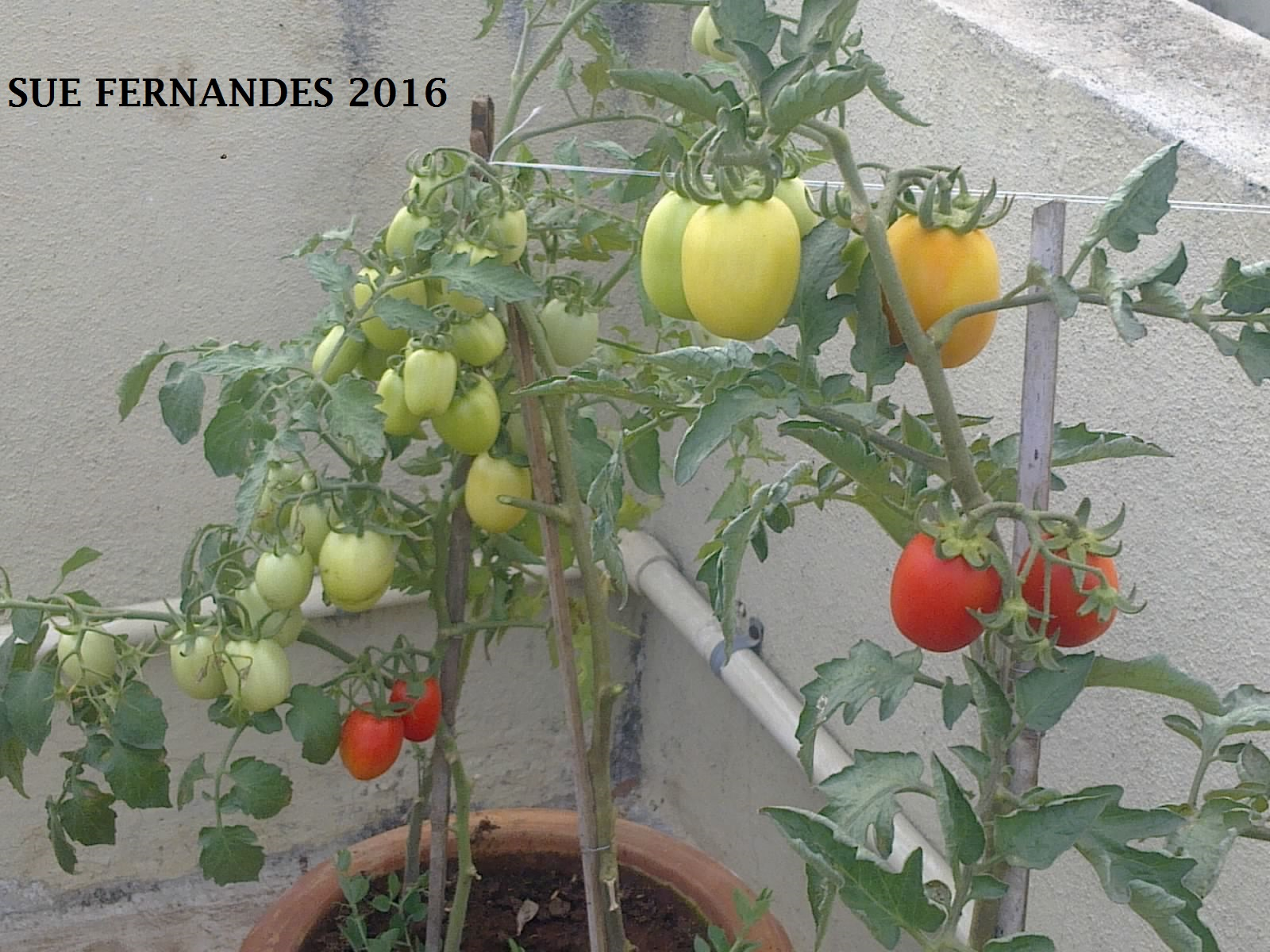 To Begin Growing Tomatoes Start By Choosing What Type Of Would You Like Grow As There Are So Many Types Cherry Plum