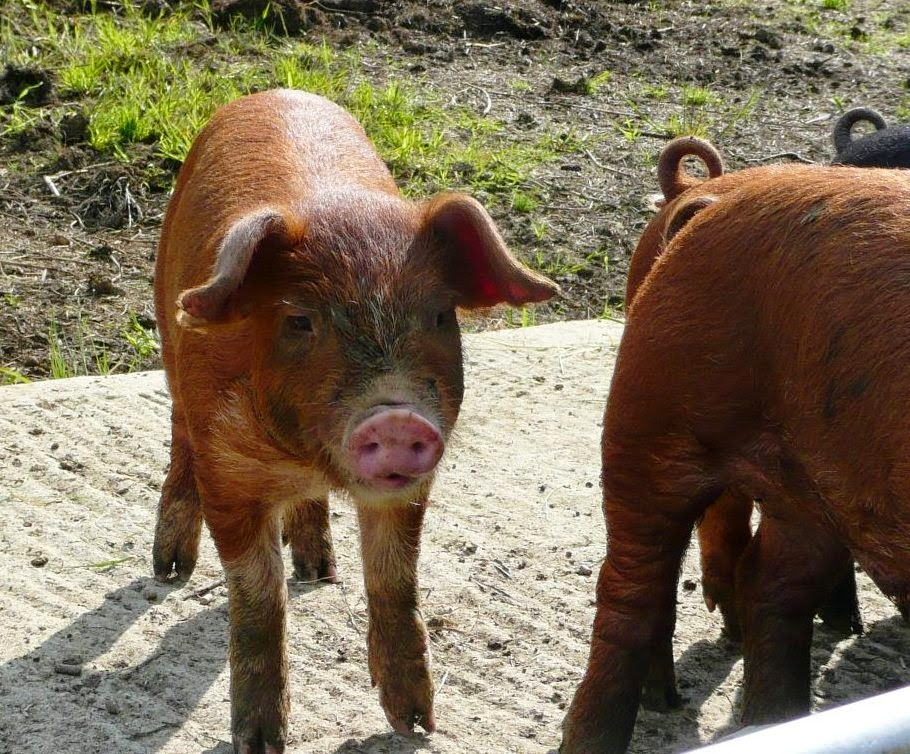 Image: Duroc x Oxford Sandy & Black piglets at the HenSafe Smallholding