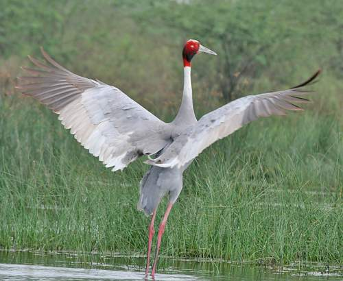 Indian birds - Sarus crane - Antigone antigone