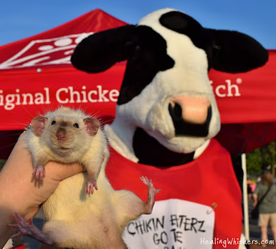 Jasper and the Chik-fil-a cow