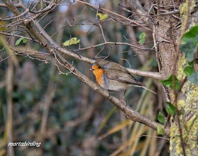 Pit-roig sobre la branca d'un arbre