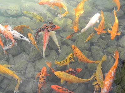 Benarkah Lukisan Ikan Koi Dipercaya Membawa Keberuntungan