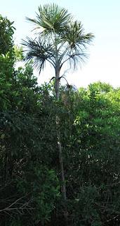 Mauritiella armata, Arecaceae