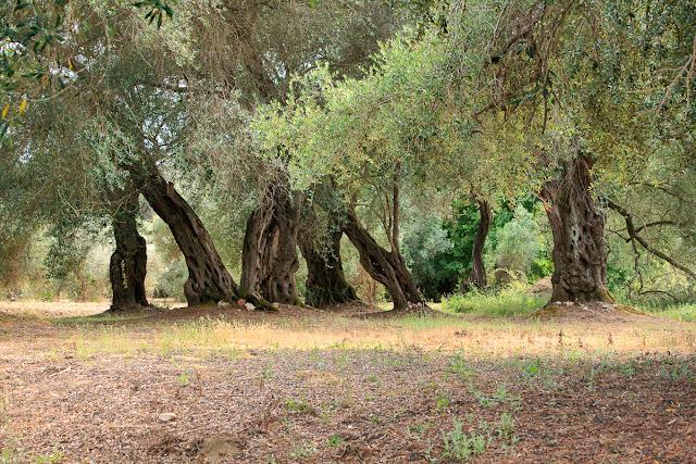 Olive trees. Corfu. Greece. Оливковые деревья. Корфу. Греция.