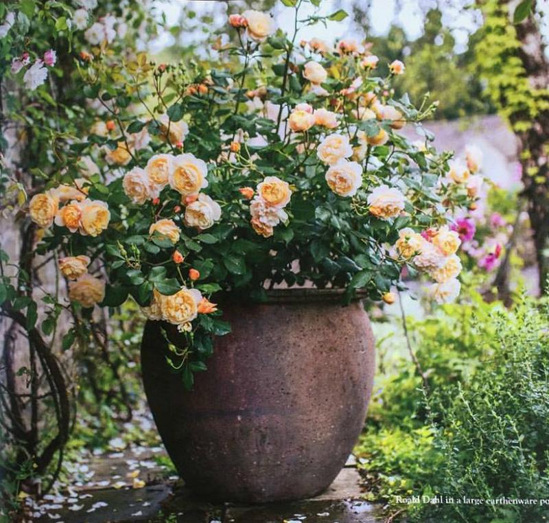 rosal inglés en maceta de arcilla