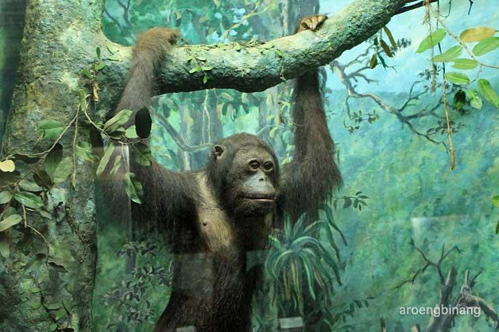 orangutan museum zoologi bogor