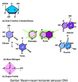 Macam-Macam Komponen Penyusun DNA