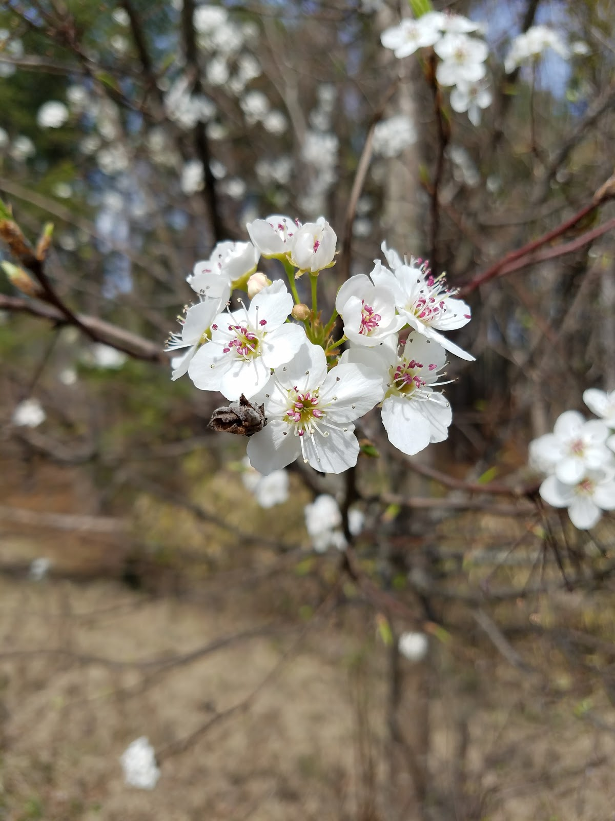 The queen of seaford this is the time of year where i like seeing the pears the white blooms are pretty but what a weedy thorny invasive weak wooded tree hexwebz Image collections