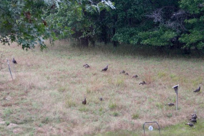 Autumn turkey flock(s)