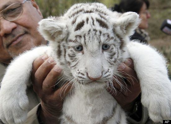 Cute Tiger Cubs Hd Wallpapers Beautiful White Tiger Cubs Wallpaper Wallpaper Amp Pictures