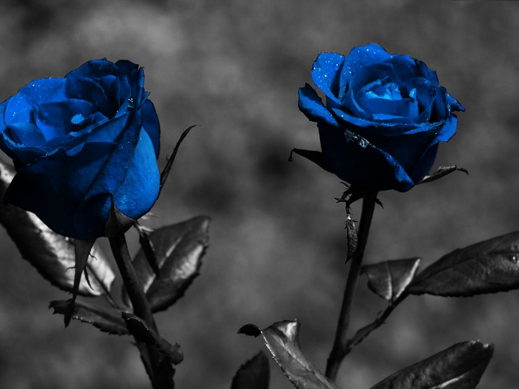 Bollywood Cellebrity Blue Rose Wallpapers-5337