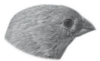 Adaptasi Pada Paruh  Burung Pipit