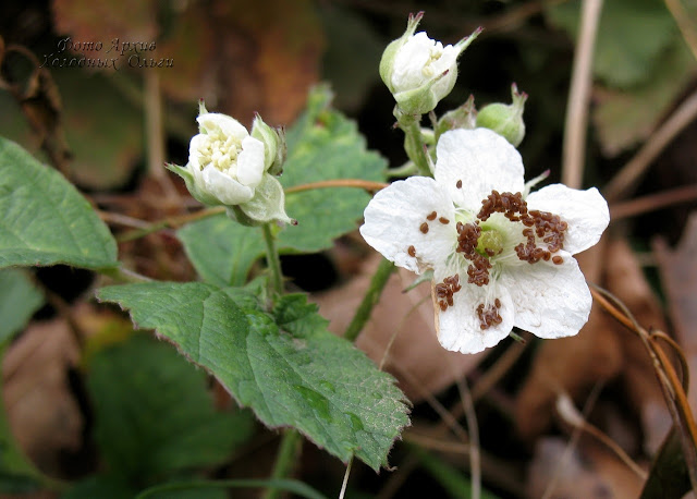 Ежевика цветение