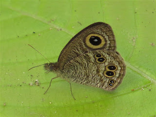 Ypthima baldus, Common Fivering