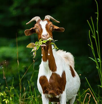 Brown and white goat with a mouthful of weeds