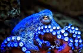 Gurita biru