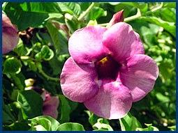 Kesihatan Menggunakan Herba Tempatan Khasiat Bunga Allamanda