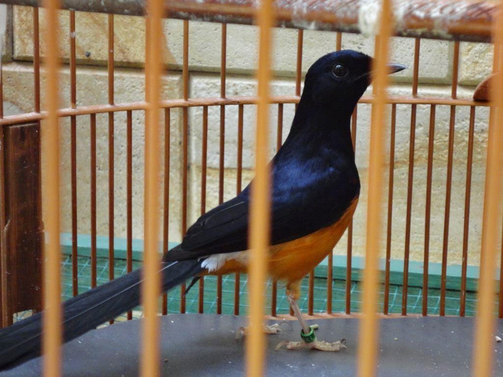 Tentang Burung Burung Murai