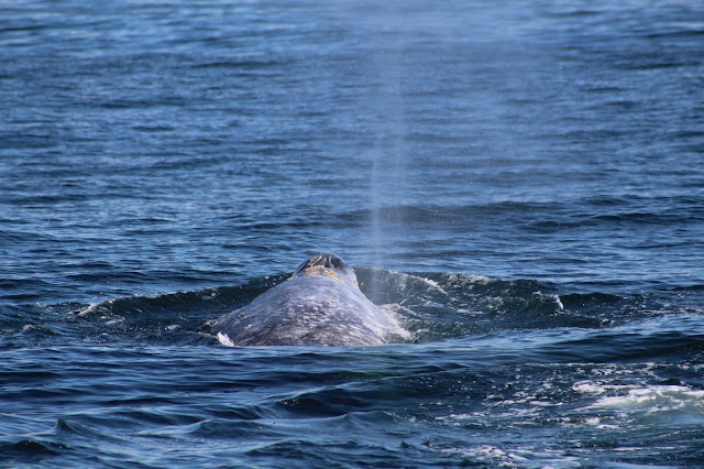 Gray Whale in Long Beach, CA