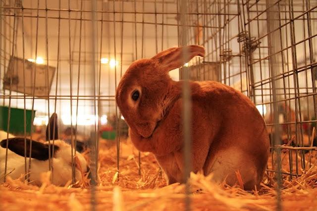 Fotos:Conejos en exposición