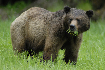 Grizzly bear. grizzly, khutzeymateen, BC, Bluewater Adventures