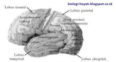 Pembagian Fungsi pada Otak Besar