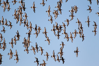 Black-tailed Godwit, Pennington Marsh - Simon Colenutt, The Deskbound Birder