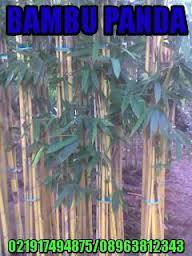 Jual bambu panda harga murah
