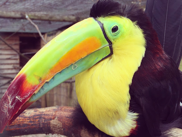 Toucan at Paradise Wildlife Park in Hertfordshire