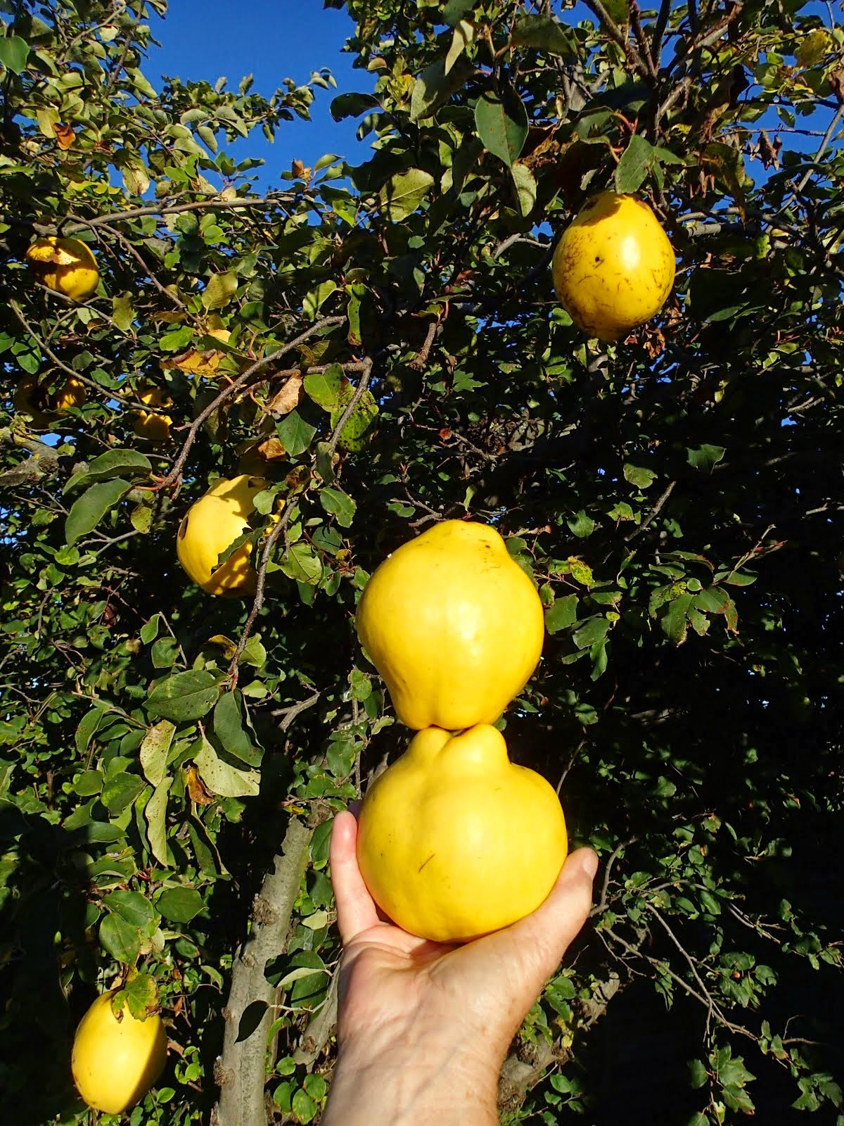 Quinces...big and beautiful