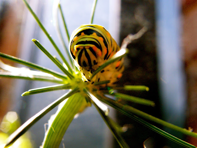 The striking yellow and black striped caterpillar of the Black Swallowtail butterfly feeding on a dill stem.