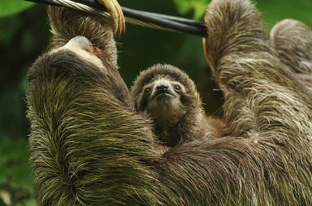 Three-toed Sloth - Facts, information and pictures 5