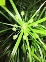 Blüten: Katzengras - Cyperus alternifolius - 3 Pflanzen - zur Verdauungsunterstützung von Katzen