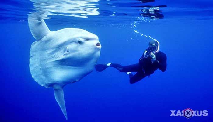 Hewan yang berkembang biak dengan cara bertelur - Mola-mola