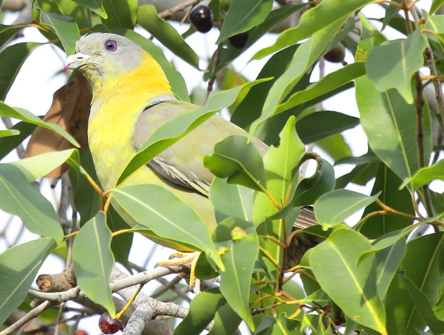 Yellow footed green pigeon - the state bird of Maharashtra - seen at Tadoba Tiger Reserve, India